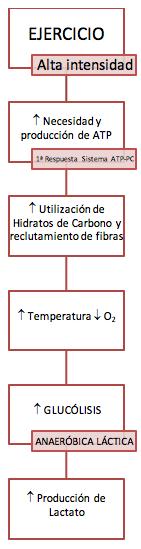 Proceso de activación y producción de energía durante el ejercicio